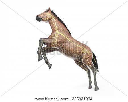 3d rendered medically accurate illustration of the equine anatomy - the nervous system