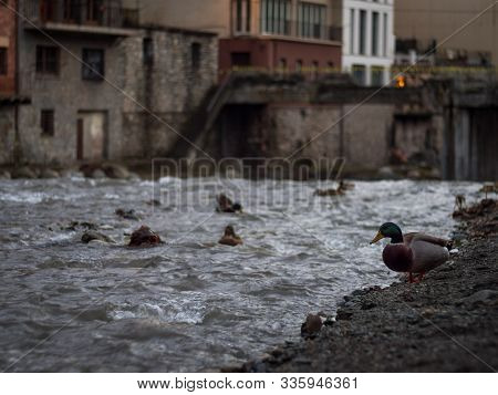 Duck On The Banks Of The Ter River As It Passes Through The Small Town Of Camprodon At Sunset (giron