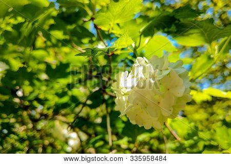 Viburnum Opulus, Water Elder, Cramp Bark, Snowball Tree And European Cranberrybush, White Flower.