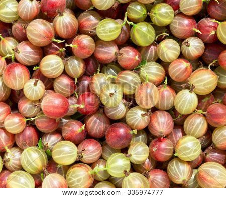 Gooseberry Harvest, A Crop Of Ripe Gooseberries. Berries Of Red Gooseberry Close-up. Fresh Gooseberr