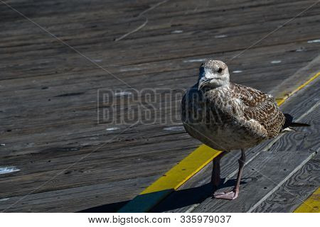 A Brown And White Winged Seagull Confidently Struts Along The Cape Henlopen State Pier In Delaware.