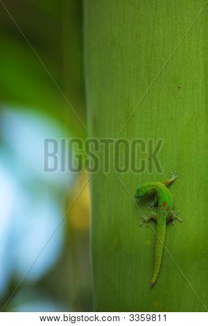Hawaiigecko02