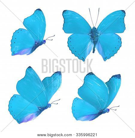 Set Of Four Beautiful Blue Butterflies Cymothoe Excelsa Isolated On White Background. Butterfly Nymp