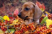 Portrait of a miniature red short-haired dachshund puppy amongst fall foliage poster