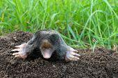 Photo of mole and molehill on garden poster