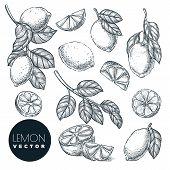 Lemon citrus tropical fruits set. Hand drawn sketch vector illustration. Lime harvest on branch. Citric isolated vintage design elements. poster