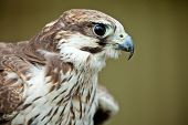Bird of prey falcon close up with blurred background poster