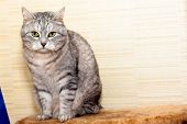 A sitting big annoted grey tabby cat poster