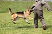 Attack dog training session on green grass poster