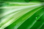 Hosta foliage in detail for natural textured background poster