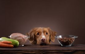 Natural Feeding For Dogs. Nova Scotia Duck Tolling Retrieverr Chooses A Meal. Raw Food And Dry Food