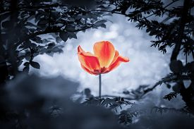 Red Tulip Soul In Cold Blue For Peace Heal Hope. The Flower Is Symbol For Power Of Life And Mind Str