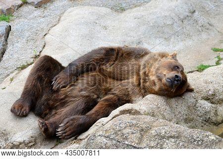 Brown bear (Ursus Arctos) lying on rock.