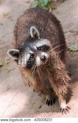 Raccoon Curiously Looking. Cute Little Animal Outddors