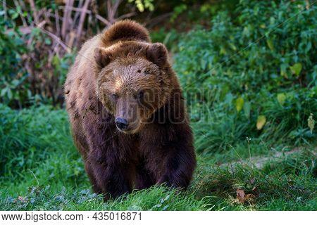 Brown Bear In The Forest. Kamchatka Bear (ursus Arctos Beringianus)