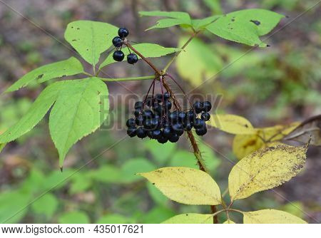 Berries Of Eleutherococcus Senticosus Growing In Far East Of Russia