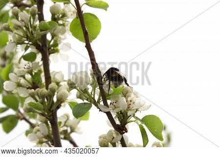 A Bumblebee On A Blooming Branch Of An Apple Tree. White Flowers On A Tree Branch With An Insect On