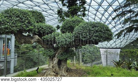 Singapore - Dec 31, 20120: Old Olive Tree In The Jewal Changi Airport In Singapore. Jewel Changi Air