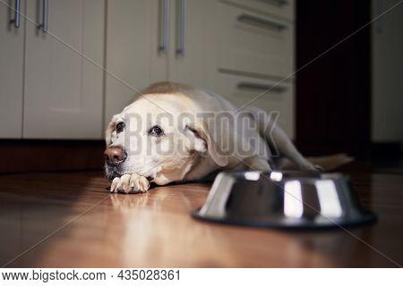Dog With Sad Eyes Waiting For Feeding. Old Labrador Retriever Lying Near Empty Bowl In Home Kitchen.