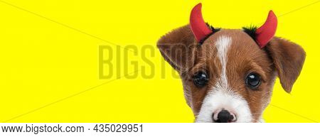 landscape of an adorable jack russell terrier dog hiding his face and wearing devil horns on yellow background