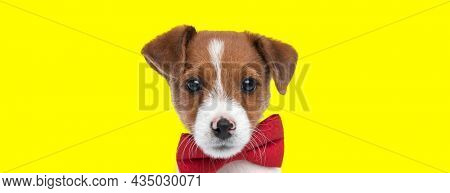landscape of a beautiful jack russell terrier dog wearing a red bowtie against yellow background