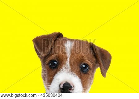 landscape of a cute jack russell terrier dog hiding his face and looking at the camera on yellow background