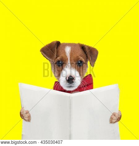 landscape of an adorable jack russell terrier dog reading the newspaper and wearing a red bowtie on yellow background
