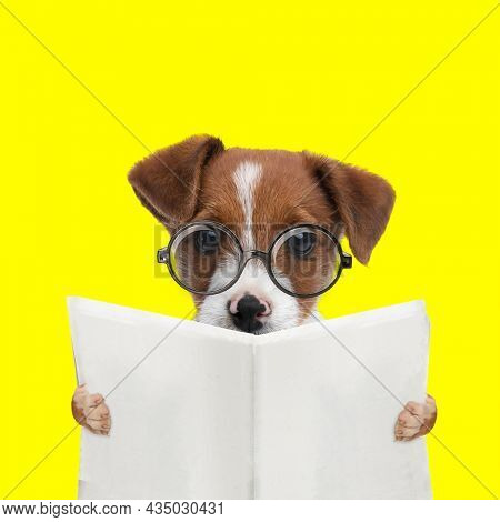 landscape of an adorable jack russell terrier dog reading the newspaper and wearing eyeglasses