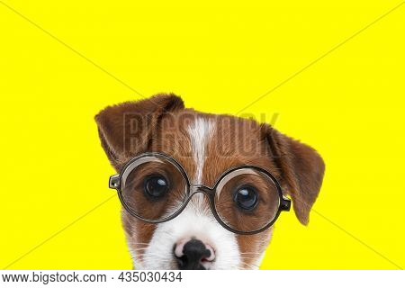 landscape of a sweet jack russell terrier dog wearing eyeglasses and looking at the camera on yellow background