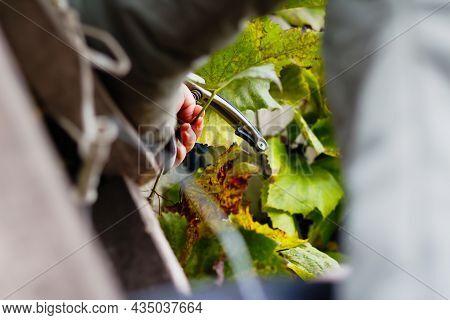 Defocus Woman Cutting Bunch Grape By Scissors. Red Wine Grapes On Vine In Vineyard. Winemaker Harves