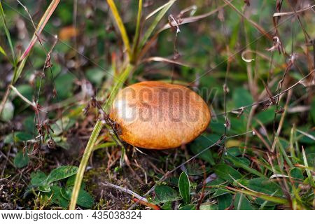 Defocus Close-up Mushroom (suillus Luteus) Among Dry Grass And Leaves. Suillus Luteos Mushroom Growi