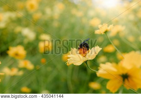 Cosmos Flowers Bloom With Honey Bee, Close-up Of Cosmos Flower Blossom And A Bee Is Pollinating Flow