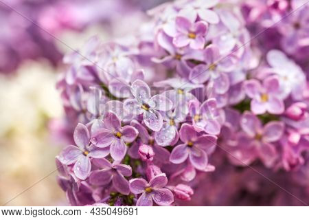 Real Pretty Lush Purple Lilac In Bloom For Best Spring Mood