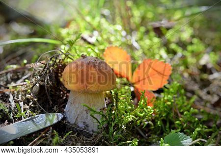 Picking Up Mushrooms Young Boletus And A Knife Next To Nature Background