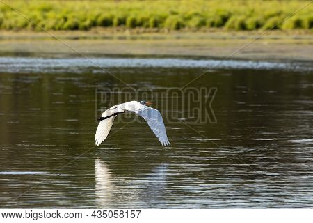 The Great Egret (ardea Alba), Also Known As The Common Egret, Large Egret, Or Great White Egret Or G