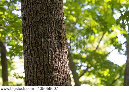 The Eastern Chipmunk (tamias Striatus) On A Tree. The Eastern Chipmunk  Is A Chipmunk Species Found