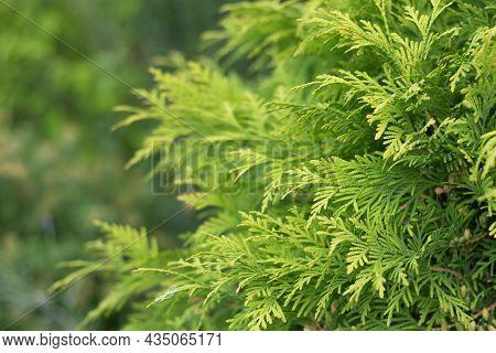 Evergreen Background, Fresh Summer Cypress Leaves. Green Leaves Background