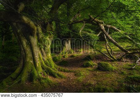 Majestic Old And Ancient Beech Covered In Moss And Illuminated By Sunlight In Moody, Deep Dark Fores