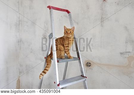 Young Red Tabby Cat Sits On Top Step Of Stepladder While Renovating Room And Looks At Camera. Renova
