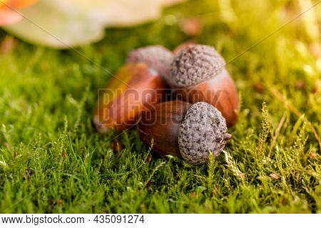 The Acorn Lies On The Green Moss Of The Autumn Forest. Spring In The Forest. Bright And Sunny Natura