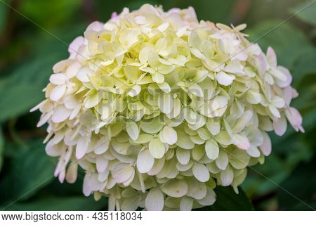 Lush White And Yellow Hydrangea Flowers In Summer. White And Yellow Flowers With Blurred Background.