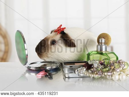 Funny Small Guinea Pig Looks In A Cosmetic Mirror At The Makeup Table Indoors