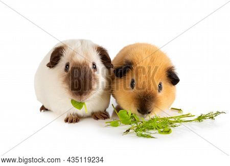 Lunch Time. Two Lovely Guinea Pigs Eating Juicy Greens In Front Of White Background