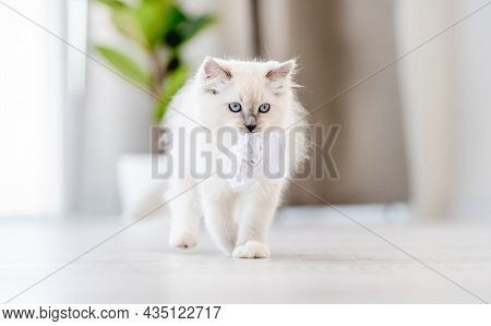 Adorable fluffy white ragdoll cat standing holding in its mouth paper ball in light room with daylight. Lovely cute purebred feline pet playing outdoors with toys