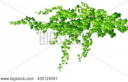 Realistic Green Bush Liana Ivy Isolated On White Background. Vector Illustration