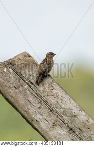 House Sparrow Seen From The Side. The Bird Sits On A Wooden Plank With A Blue Sky Trees In The Backg