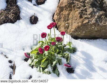 Close Up Of A Red Daisy, Bellis Perennis Growing From Bark And Snow With Lush Green Leaves. Spring I