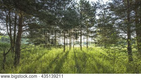 Pine Trees Illuminated By Golden Sunlight Before Sunset With Sunbeams Spilling Through Trees On The