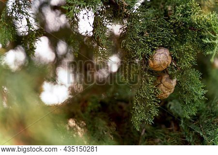 Branch Of Mediterranean Cypress With Round Brown Cones. Close Up Shot. High Quality Photo