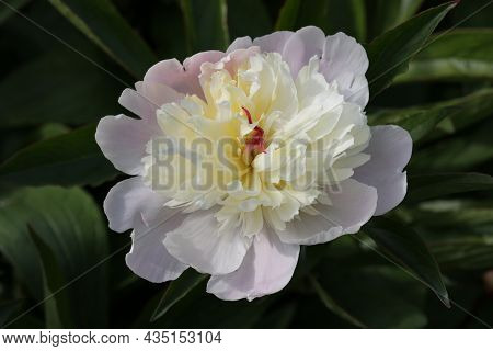 Single Pink Peony, Paeonia Lactiflora Of Unknown Variety, Flower In Close Up With A White And Yellow
